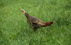 Turkey (Meleagris gallopavo) Stock Images