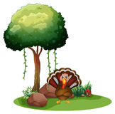 A turkey near the rocks under the tree Stock Photo
