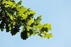 Turkey oak tree against clear sky royalty free stock photo