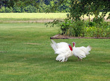 Turkey pair Royalty Free Stock Photo