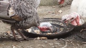 Turkey pecking food. Turkey pecking leftover food. Close up stock video footage