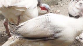 Turkey pecking food. Turkey pecking leftover food. close up stock footage