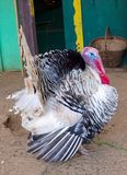 Turkey  in a pen on the sand Royalty Free Stock Photo