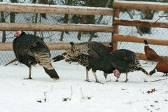 Turkey with pheasant on the barnyard in winter Royalty Free Stock Image
