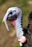 Turkey portrait Stock Photography
