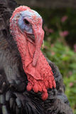 Turkey Portrait Royalty Free Stock Photography
