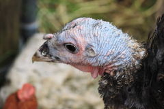 The turkey Royalty Free Stock Photography
