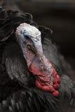 Turkey portrait Stock Photo