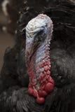 Turkey portrait Royalty Free Stock Images