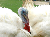Turkey posing for photographs. Interesting portarit of a beautiful white turke Stock Image