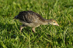 Turkey Poult 1A Royalty Free Stock Photos