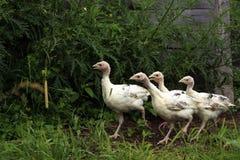 Turkey-poults Stock Image