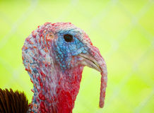 Turkey profile. Domestic turkey head shot with a green background Stock Photo