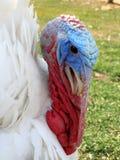 Turkey's head with white plumage. Royalty Free Stock Photos