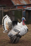 Turkey Royalty Free Stock Image