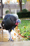 Turkey on sidewalk Stock Images