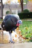Turkey on sidewalk. A turkey walking down a sidewalk Stock Images