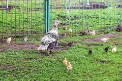 Turkey with small turkeys in the farm garden near the fence_ royalty free stock images