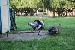 Turkey standing in Kids-Farm Stock Photography
