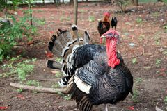 Turkey standing on the soil ground with the tree. It is a large mainly domesticated game bird, having a bald head and red wattles. Turkey standing on the soil Royalty Free Stock Image