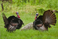 Turkey Standoff Royalty Free Stock Photography