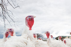 Turkey.  Royalty Free Stock Photography