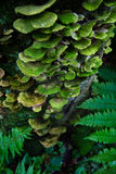 Turkey Tail Fungus Royalty Free Stock Photo