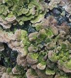 Turkey Tail Fungus Stock Photography