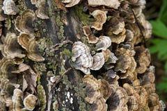 Turkey tail fungus mushroom Trametes versicolor over tree Royalty Free Stock Photos