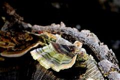 Turkey Tail Mushrooms on Log Stock Image