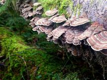 Turkey Tail Mushrooms - Trametes versicolor Stock Photography