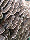 Turkey Tail Mushrooms Royalty Free Stock Photography