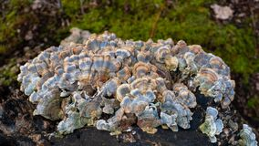 Turkey Tail Trametes versicolor mushroom growing on a decaying stump. A cluster of vibrant blue and yellow mushrooms growing in