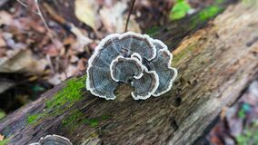 Free Turkey Tail Trametes Versicolor Mushroom Growing On A Decaying Stump. A Cluster Of Vibrant Blue And Yellow Mushrooms Growing In Royalty Free Stock Photo - 171161115