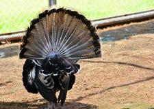 Turkey tail Stock Image