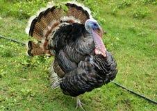 Turkey thai Royalty Free Stock Photography