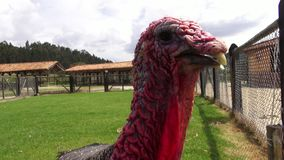 Turkey, Thanksgiving, Poultry, Game Birds, Animals. Stock video of a turkey stock video