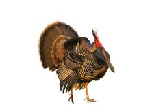 Turkey tom strutting Royalty Free Stock Photo