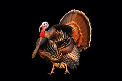 Turkey tom strutting Stock Photos