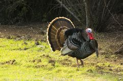 Turkey tom strutting. His stuff Royalty Free Stock Photos
