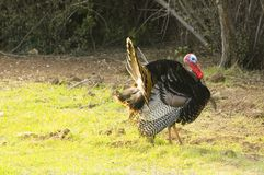Turkey tom strutting. His stuff to attract the hens and defend his brood Royalty Free Stock Photography