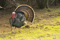 Turkey tom strutting. His stuff to attract the hens and defend his brood Stock Photography