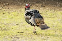Turkey tom strutting Royalty Free Stock Photos