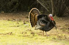 Turkey tom strutting Stock Image