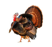 Turkey Tom strutting his stuff Royalty Free Stock Photos