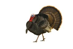 Turkey tom strutting isolated on white. Turkey Tom strutting his stuff  isolated on white Stock Images