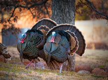 Turkey Trot Stock Images