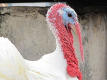 Turkey Stock Images