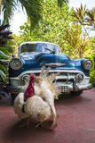 Turkey and vintage car in Cienfuegos stock images