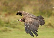 Turkey Vulture. A male Turkey Vulture in flight Royalty Free Stock Image
